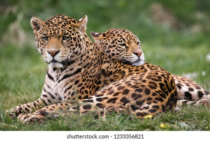 Two jaguars are near