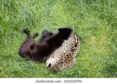 Two jaguars resting and sleeping on a grass
