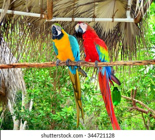 Two  Jamaica Parrots