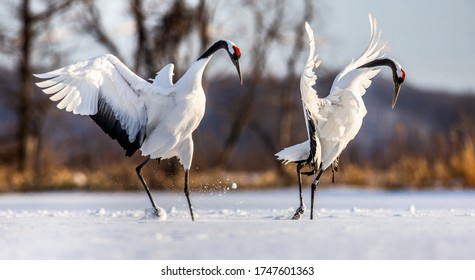 Two Japanese Cranes are dancing on the snow. Japan. Hokkaido. Tsurui.