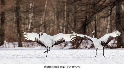 Two Japanese Cranes in flight. Japan. Hokkaido. Tsurui.