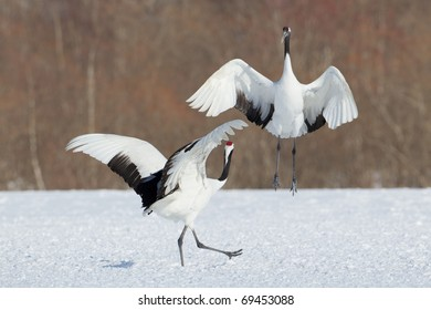 Two Japanese cranes with red crowns are involved in a mating dance ritual. Other cranes can be seen in the background.