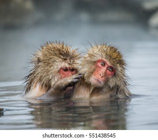 Two Japanese macaques sitting in water in a hot spring. Japan. Nagano. Jigokudani Monkey Park. An excellent illustration.