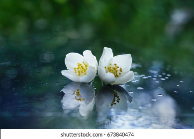 Two jasmine flowers after the rain on a mirror surface with a beautiful natural background and reflection. White flowers with water drops macro.
