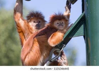 Two Javanese langur monkeys  (Trachypithecus auratus)