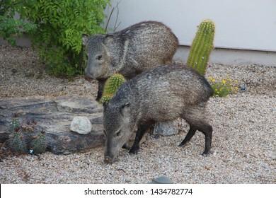 Two Javelinas in Scottsdale Arizona