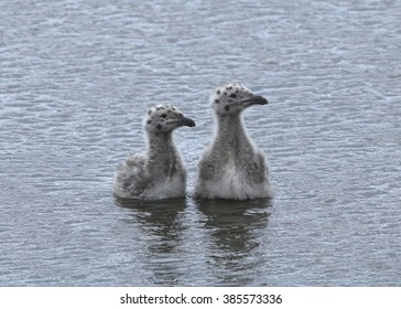 Two Juvenile Gulls