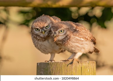 Two juvenile little owls sharing a post, one has a moth in its beak