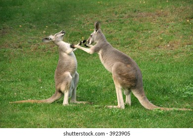two kangaroos boxing