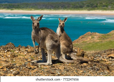 Two kangaroos on the Australian coast