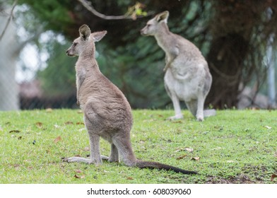 Two kangaroos on the meadow