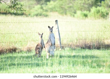 Two kangroos in grassy field looking at the mother with joey in pouch