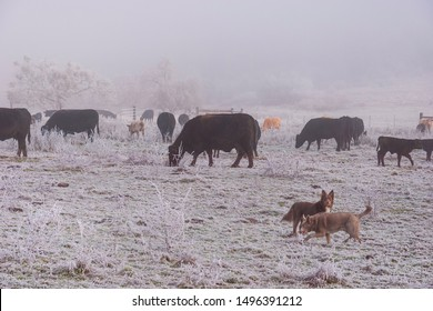 two kelpie dogs in front of a herd of black angus and other cows in a frozen foggy pasture with dense haze in the background