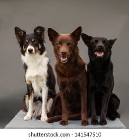 two kelpies and a border-collie sitting in studio with grey background