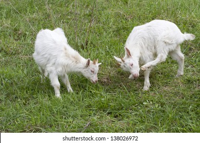 Two kids goat playing on the meadow.