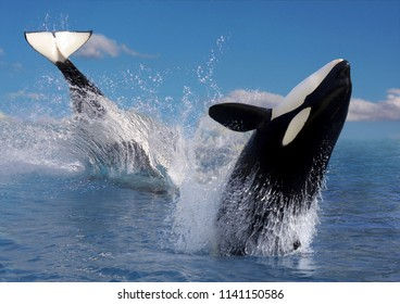 Two Killer whale or orca (Orcinus orca) jumping