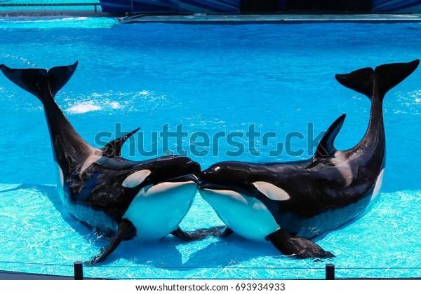 Deux orques s'embrassent dans un bassin bleu