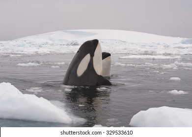 Two Killer whales spy hanting in Antarctica