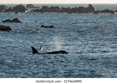 Two killer whales swimming at Moa Point rock pools, Wellington New Zealand