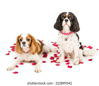 Two Kind Charles Cavalier Spaniels sitting and laying on a white background with red rose petals surrounding them.