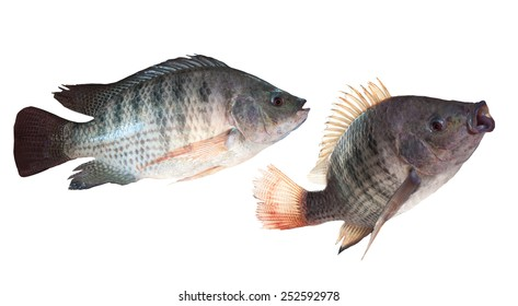 two kind of nile fish isolated white background