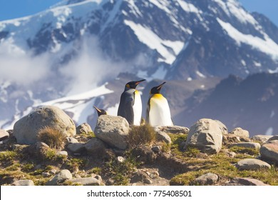 Two King penguins bask in the sunshine at St Andrews Bay, the worlds largest king penguin colony in South Georgia.