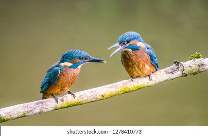 Two Kingfisher fledglings on a branch over the rive