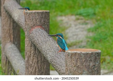Two kingfishers are relaxing on fense at a delicate distance