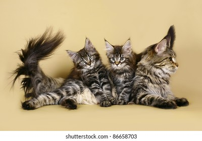 Two kitten maine coon with mother