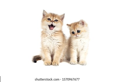 Two kittens British gold on white background. Cat sitting