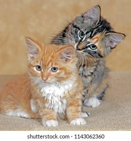 Two Kittens ginger tabby and calico playing indoors