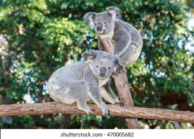Two Koalas are playing and staring at a branch of a tree in a park in Queensland, Australia.