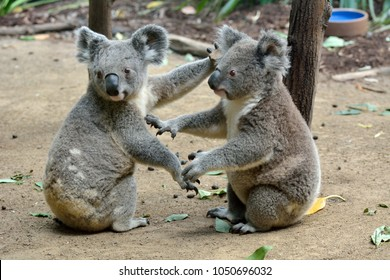 Two koalas sitting on the ground in Queensland, Australia.