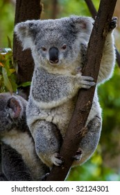 two koalas in a tree, facing forwards, one sitting one standing