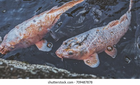 Two koi fish swimming together
