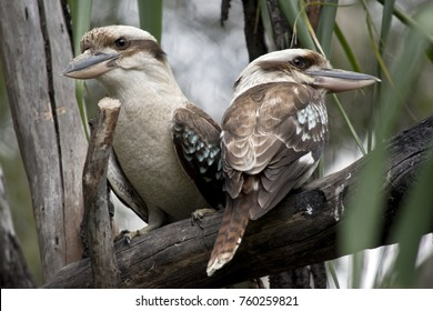 the two kookaburras are in a gum tree