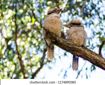 Two Kookaburras perch on a tree branch in the Dandenong Ranges, Australia