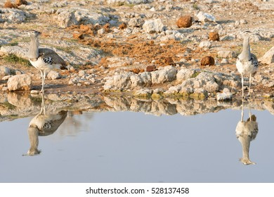 Two Kori Bustard (Ardeotis kori), the largest flying bird in Africa, ignoring each other at a water hole in Etosha National Park, Namibia