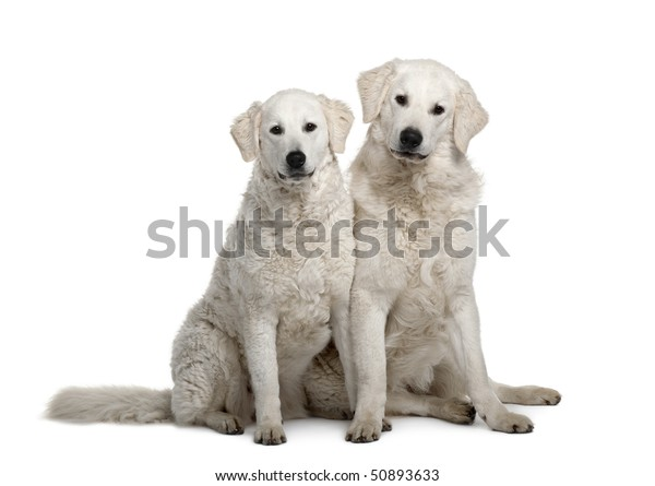 Two Kuvasz dogs, 17 months old, sitting in front of white background