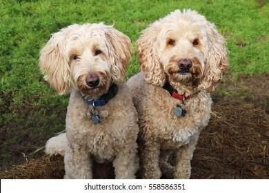 Two Labradoodles