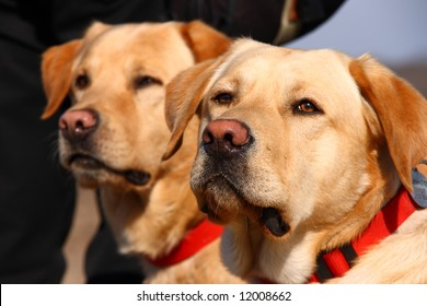 Two Labrador dogs with red neck leash