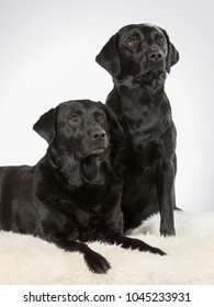 Two labrador dogs in a studio.