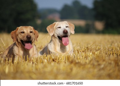 two labrador are lying in a stubble field
