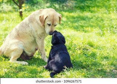 Two Labrador retriever dogs sitting on the grass in the garden in summer. Mother dog and little puppy sniff to each other