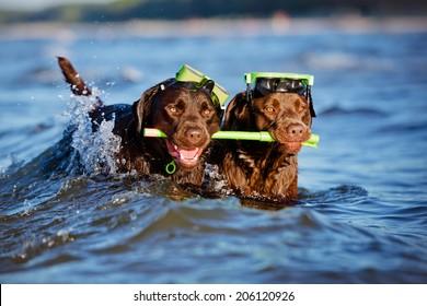 two labrador retriever dogs with snorkel equipment