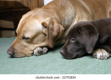 two labradors retriever sleeping on the floor
