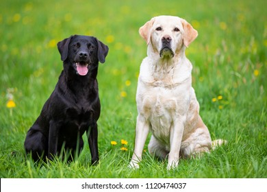Two Labradors sitting in a meadow, black and bright