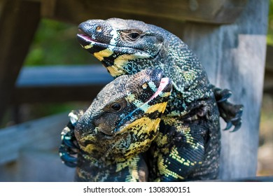 Two Lace Goannas, Australian monitor lizards fighting ferociously. The Goanna features prominently in Aboriginal mythology and Australian folklore, with strong claws and powerful legs.