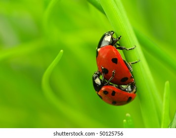 Two ladybugs being mate