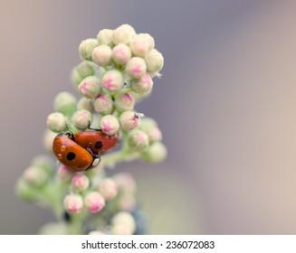 Two ladybugs on flowers